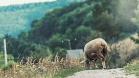 Lamb lays on the edge of the road. In the background of the forest royalty free stock images