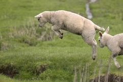 Lamb leaping. Lamb caught it the air as it leaps across a ditch stock photo