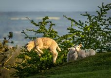 Lamb leaping from a Dovers Hill Chipping Campden stock photo
