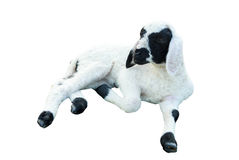 Lamb lie down Royalty Free Stock Image