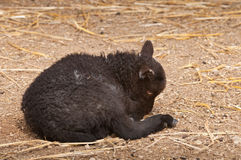 Lamb Lies Down in Farmyard (Ovis aries) Stock Photos