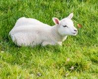 Lamb lies in the grass Stock Photos