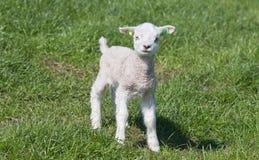 lamb little äng Arkivbild
