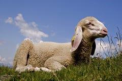 lamb little Arkivbild