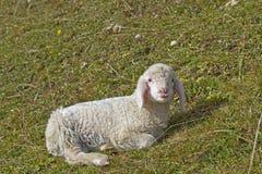 lamb little Arkivbilder