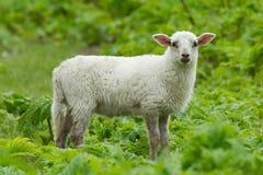 lamb little Royaltyfria Bilder