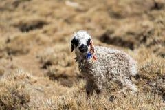 lamb little Arkivfoton