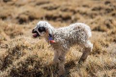 lamb little Royaltyfri Bild