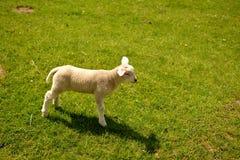 lamb little Royaltyfria Foton