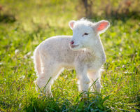 lamb little Royaltyfri Foto