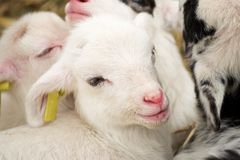 lamb little Arkivfoto
