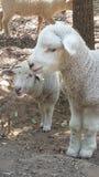 lamb little Fotografering för Bildbyråer