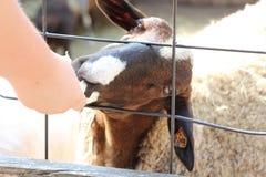 lamb little Royaltyfri Fotografi