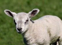 Lamb Stock Photo