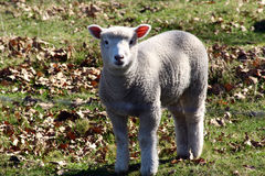 lamb little sötsak Royaltyfri Foto