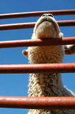Lamb livestock. Unusual angle of a penned lamb against blue sky Stock Photos