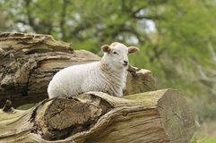 Lamb on log Stock Photography