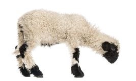 Lamb looking down in front of white. Background royalty free stock photography