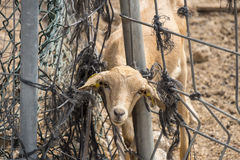 Lamb looking through a fence Stock Photography