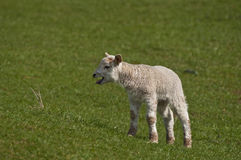 Lamb looking for mother. Young Spring Lamb crying and searching for it's mother Royalty Free Stock Photography