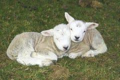 Lamb Love. A pair of young lambs lying cheek to cheek Royalty Free Stock Photos
