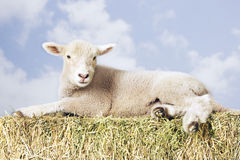 Lamb Lying On Hay Against Sky Royalty Free Stock Photo