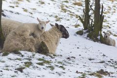 Lamb lying on mother sheep in a cold field during winter snow. Two new born Lambs in winter. One lamb is lying on mother sheep in a cold field during winter snow Royalty Free Stock Image