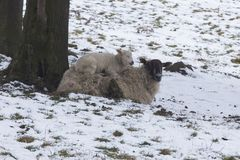 Lamb lying on mother sheep in a cold field during winter snow. Two new born Lambs in winter. One lamb is lying on mother sheep in a cold field during winter snow Royalty Free Stock Photo
