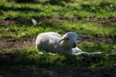 Lamb lying in the shadow of trees. Lamb lying in the green meadow in the shadow of trees Royalty Free Stock Image