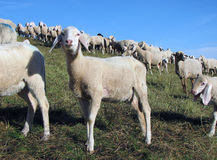 Lamb with many sheep grazing in the meadow Stock Photo