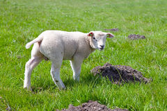 Lamb in meadow Royalty Free Stock Image