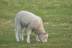 A lamb in a meadow. Royalty Free Stock Images