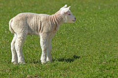 Lamb in the meadow. Little lamb in the meadow stock photo