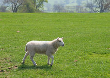 Lamb in Meadow. Young lamb walking across green meadow stock photography