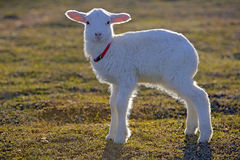Lamb in meadow in early morning light Royalty Free Stock Images