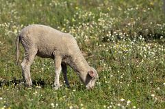 Lamb on the meadow Stock Photos