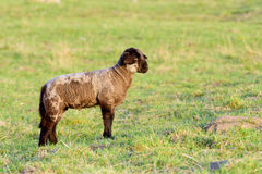 Lamb in the meadow Royalty Free Stock Photos
