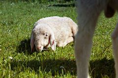 Lamb in the meadows of Bavaria Stock Photo