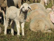 Lamb in the midst of the large flock of sheep and goats Royalty Free Stock Photos