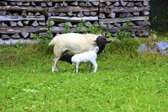 Lamb with momma sheep Stock Images