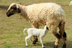 Lamb. Mommy lamb nurse her baby Royalty Free Stock Images