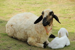 Lamb. Mommy lamb sit with her baby on the yard royalty free stock photography