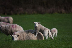 Lamb and mother. New born Lambs in a field with their mothers North Wales UK Royalty Free Stock Image