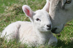 Lamb & Mother. Young lamb being nuzzled by it's mother Stock Images