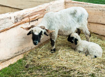 Lamb with Mother. 2-3 week old lamb with mother Royalty Free Stock Photography