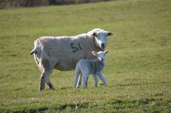 A Lamb and Mother. A Ewe and Her Lamb royalty free stock images