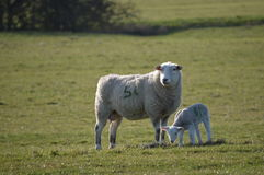 A Lamb and Mother. A Ewe and Her Lamb royalty free stock photo