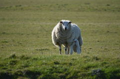 A Lamb and Mother Royalty Free Stock Image