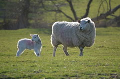 A Lamb and Mother. A Ewe and Her Lamb royalty free stock image