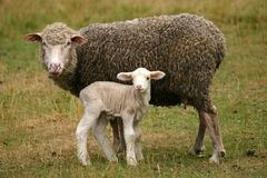 Lamb and mother sheep. Little white lamb and mother sheep on a pasture Stock Photo